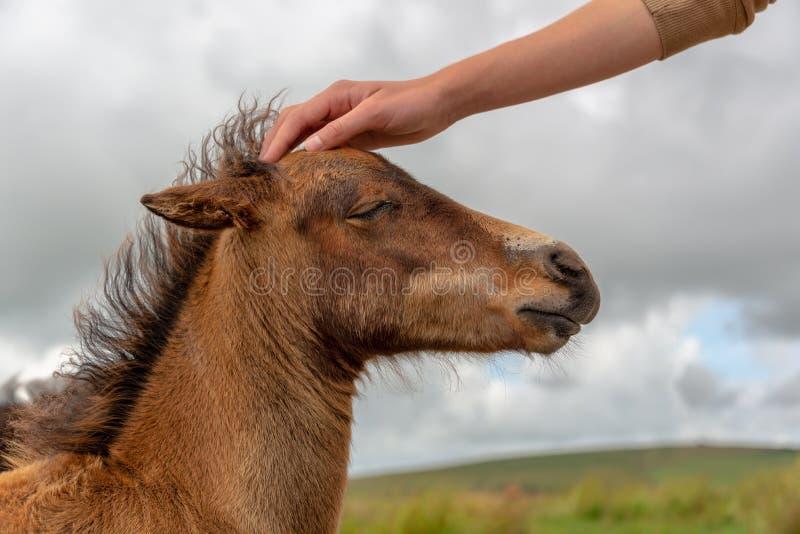Hand van een jongen die het hoofd van een Dartmoor-poneyveulen petting, Devon het UK royalty-vrije stock fotografie