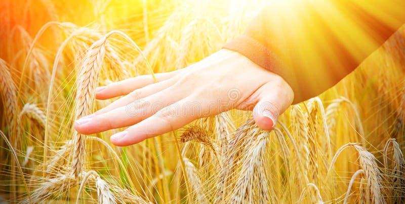 Hand van een vrouw wat betreft tarwe in zonlicht stock afbeeldingen
