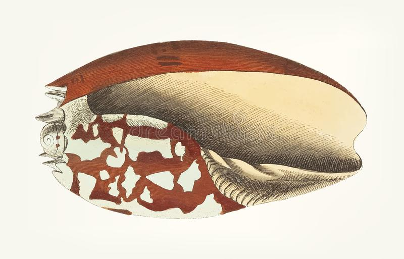 Hand van Ethiopische Kroon die overzeese shell wordt getrokken vector illustratie