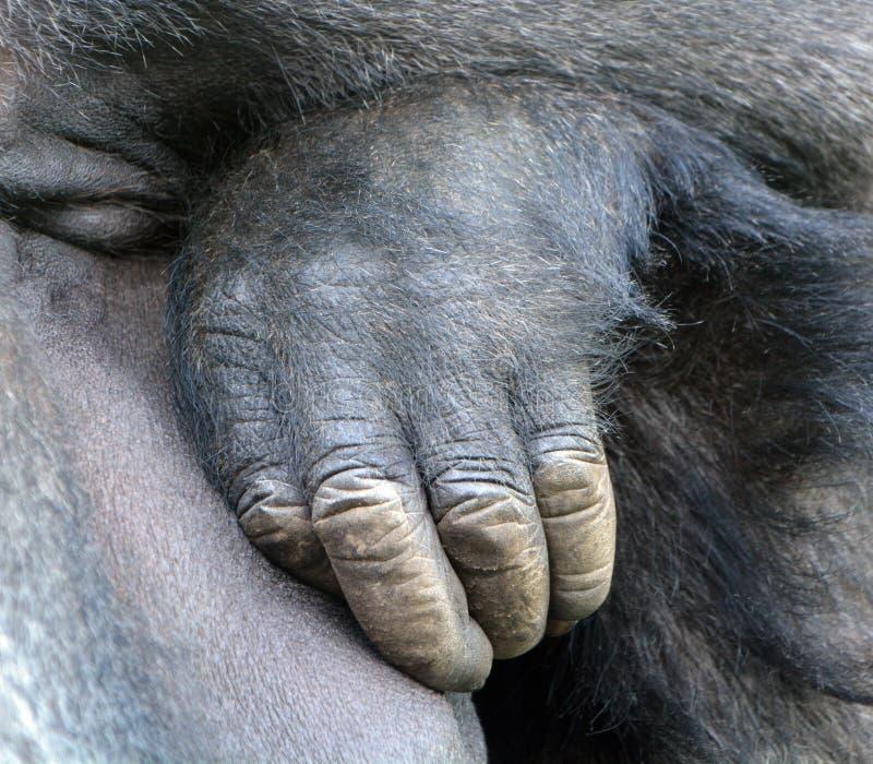 Hand van Gorilla's stock afbeeldingen