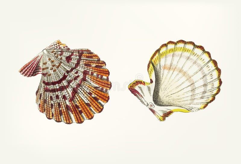 Hand van kammossel dieshell wordt getrokken royalty-vrije illustratie