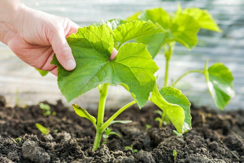 Hand van landbouwer die een spruit van een komkommer houden Komkommers: plantin stock afbeelding