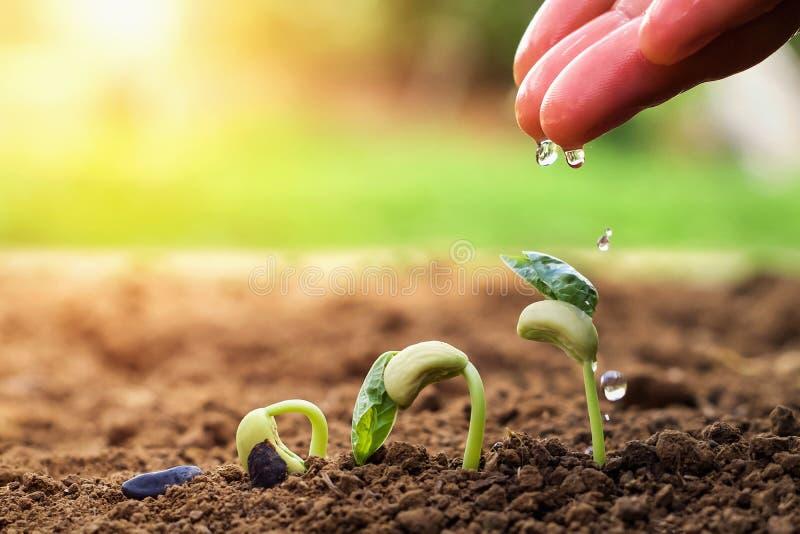 hand van landbouwer het water geven aan kleine bonen in tuin met zonneschijnachtergrond royalty-vrije stock fotografie