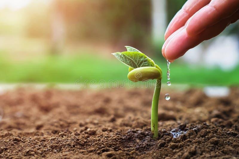 hand van landbouwer het water geven aan kleine bonen in tuin met zonneschijnachtergrond stock afbeeldingen