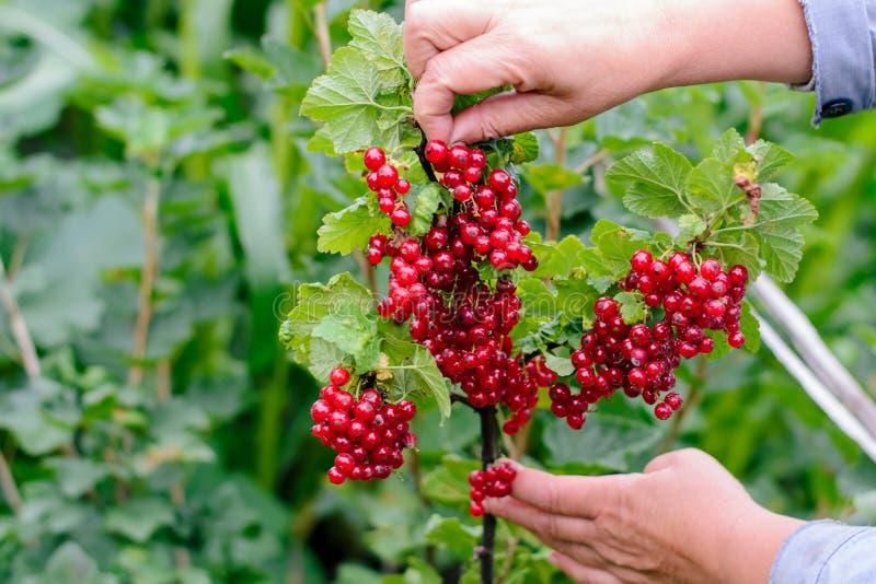 Hand van vrouw het plukken rode aalbes in de tuin stock fotografie