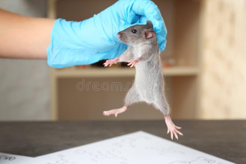 Hand van wetenschapper met leuke rat royalty-vrije stock afbeeldingen