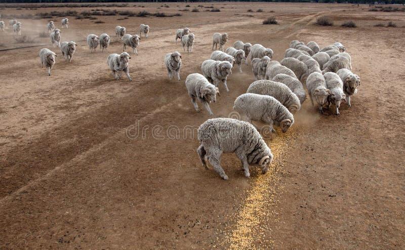 Hand voedende schapen stock foto