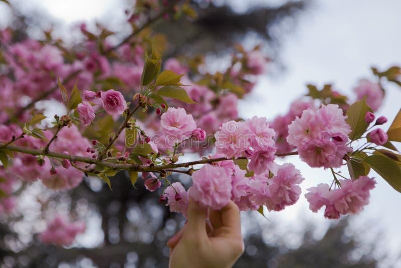 Hand wählt eine Kirschblüte aus stockbild
