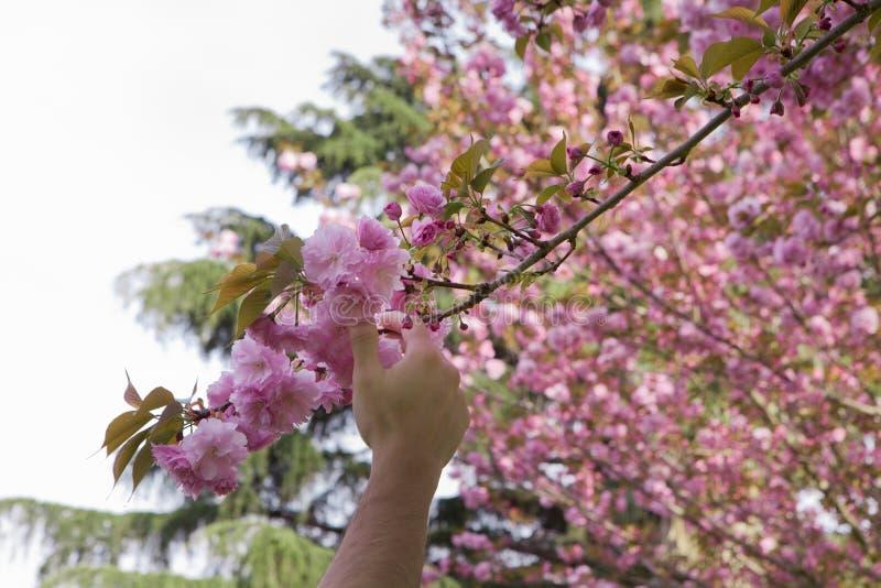 Hand wählt eine Kirschblume aus stockbild