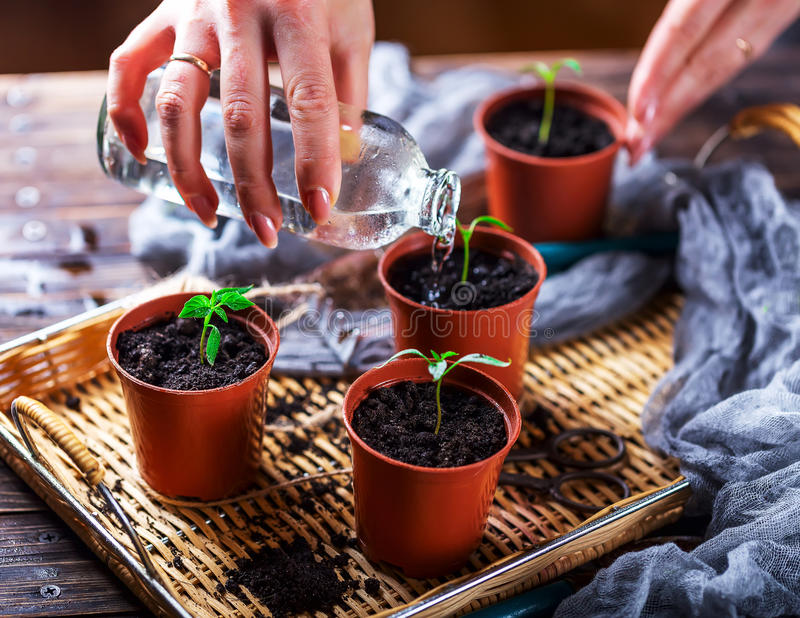 The hand water the young plants from the glass bottle. Pots with royalty free stock photos