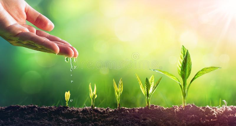 Hand Watering Young Plants royalty free stock photo