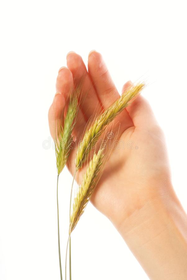 Hand with a wheat royalty free stock photos