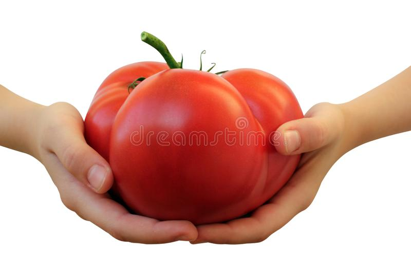 Hand of a white woman showing a fresh delicious, red tomato isolated on white background. A fresh delicious stock photography