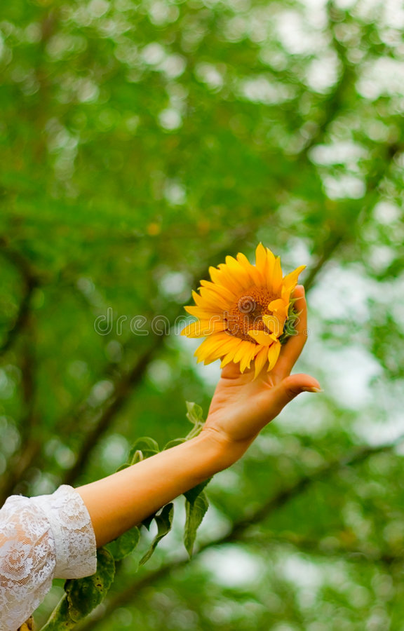 Free Hand With Sunflower Stock Image - 5957931