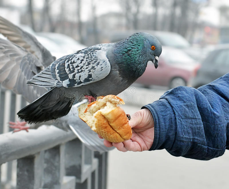 Hand of the woman feeding a pigeon. Hand of kind elderly woman who feeds a pigeon. The pigeon sits on a hand and pecks white loaf