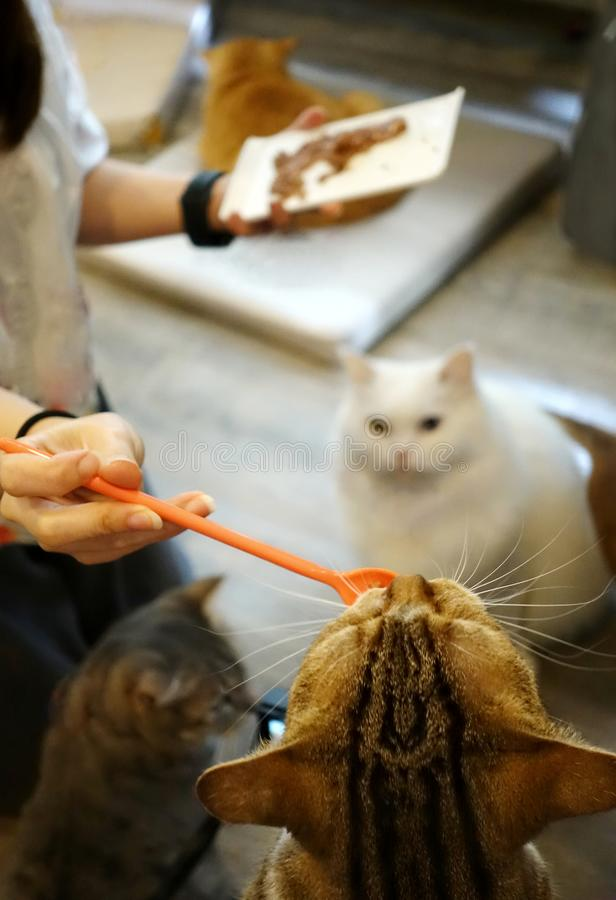 Hand of woman feeds several cats and white cat waiting for to feed. Woman feeds several cats and white cat waiting for to feed, selective focus stock photo