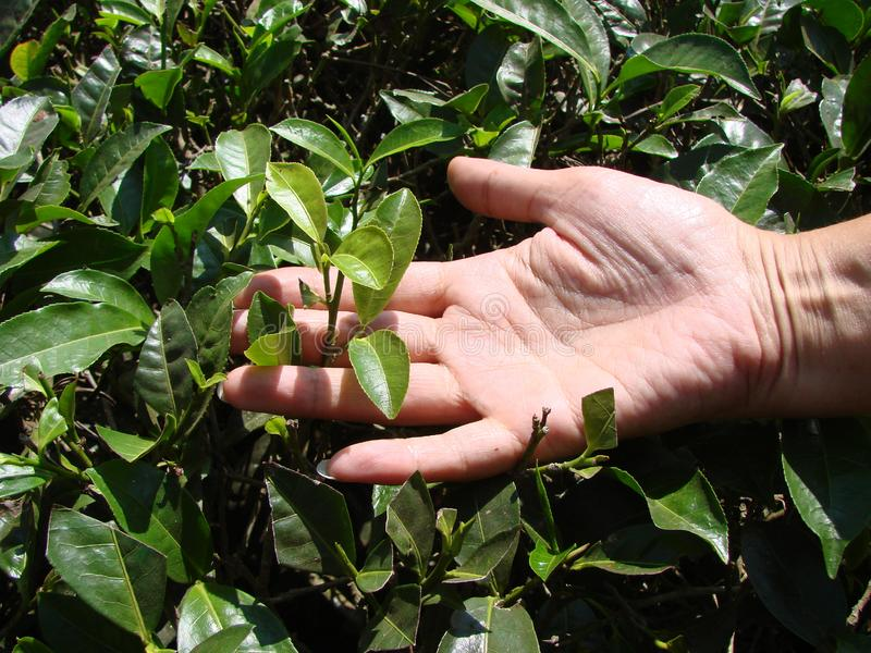 Hand of a woman picking green tea leaves on Indian plantations. stock photo