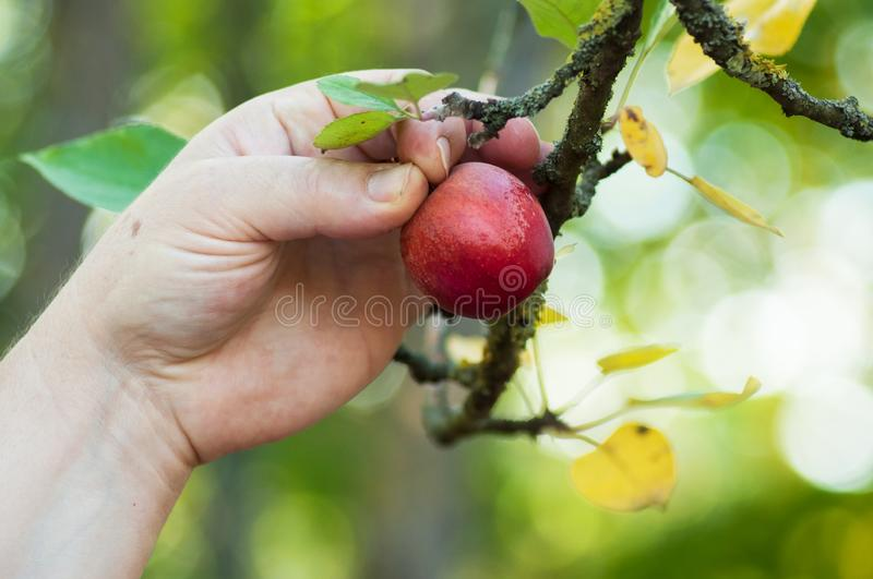 Hand of woman picking a red small apple in apple tree. Closeup of hand of woman picking a red small apple in apple tree royalty free stock photography