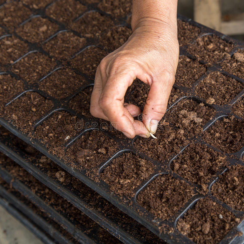 Hand woman sowing cucumber seeds royalty free stock image