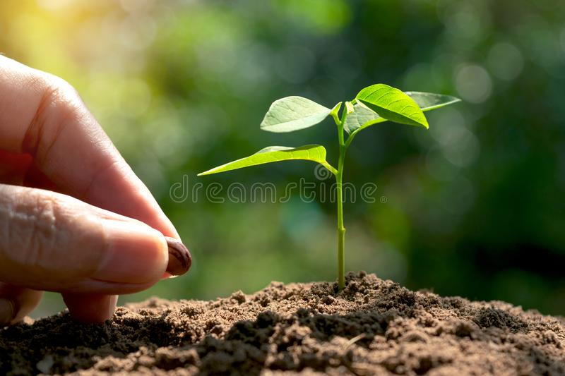 hand of women cultivation with young plant and seed in the morning under garden green background. royalty free stock images