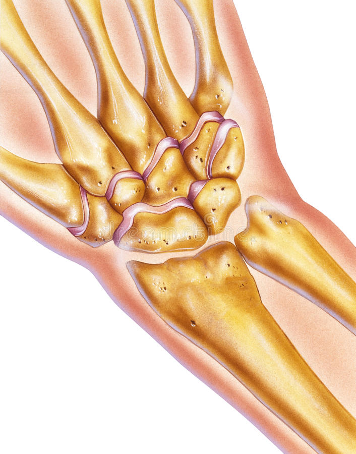 Hand And Wrist Bones Joints In Situ Stock Illustration