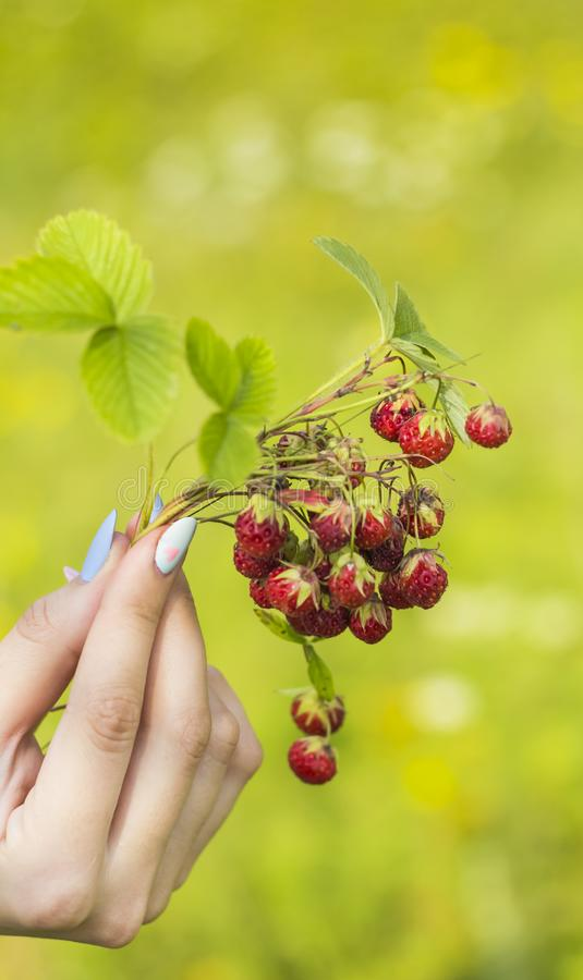 Hand of a young girl with a bouquet of red wild strawberries on a bright blurred background.  stock photos