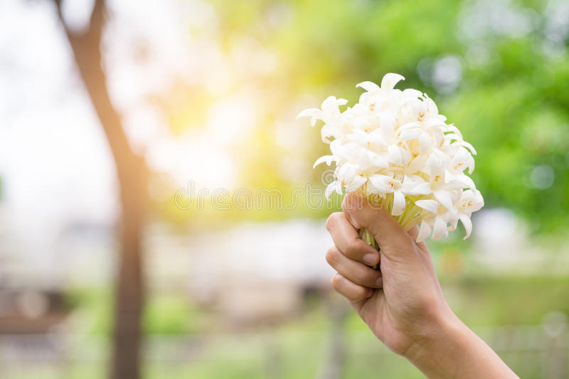 Hand of young holding a bouquet of jasmine with sun light. Jasmne is symbol of mother's day royalty free stock photos