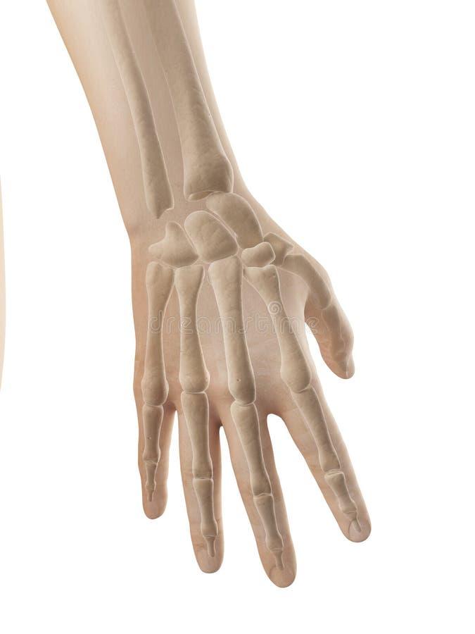 Handanatomi - ben av handen och fingrar royaltyfri illustrationer