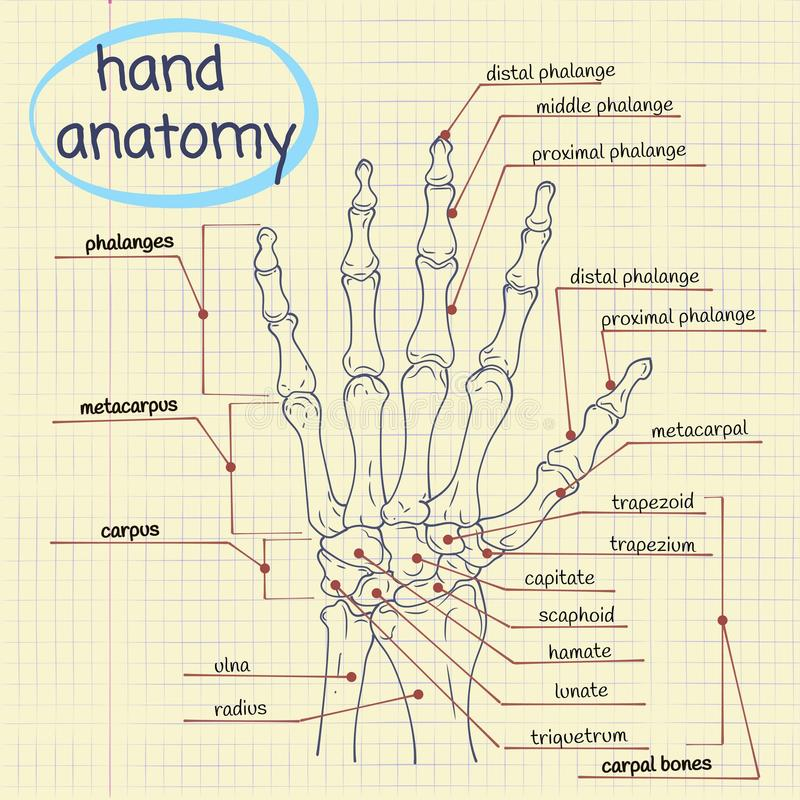 Handanatomie vector illustratie