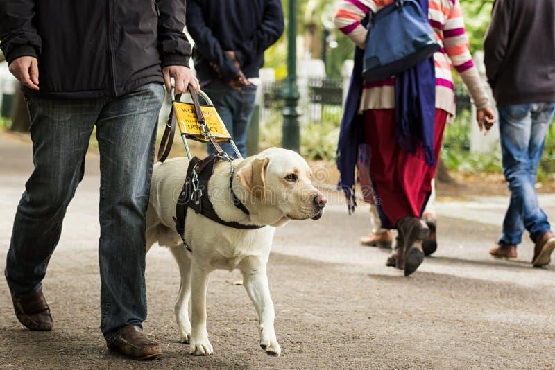 Handbokhund som leder en blind man på trottoaren royaltyfri fotografi