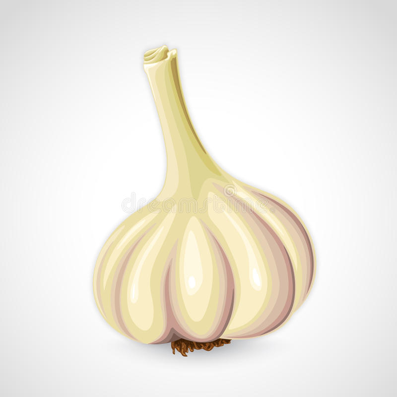 Handdrawn  garlic
