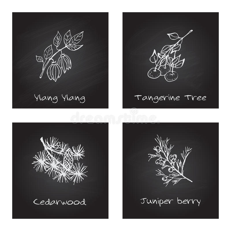 Handdrawn Illustration - Health and Nature Set. Collection of Herbs on Black Chalkboard. Labels for Essential Oils and Natural Supplements. Ylang Ylang royalty free illustration