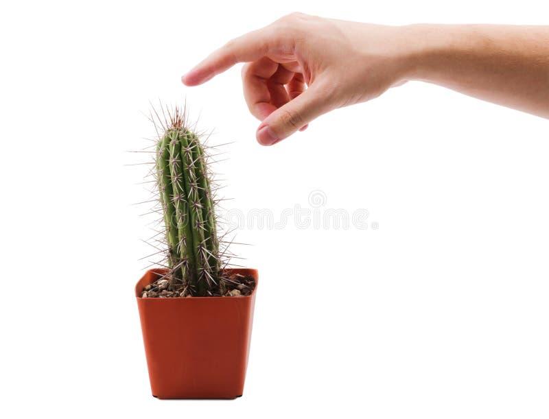 Handen önskar att trycka på törnarna av en kaktus på en vit isolerad bakgrund arkivbild