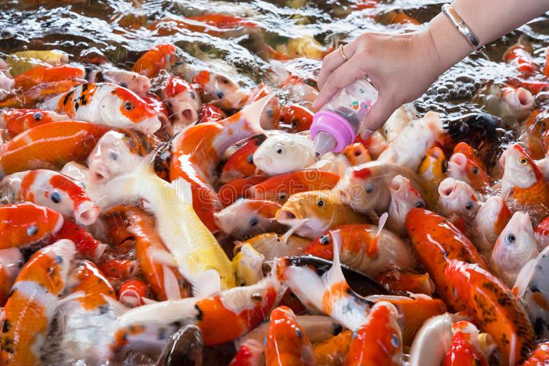 Handen av en kvinna rymmer en matningsflaska för en Koi fisk, utsmyckad bil arkivbilder