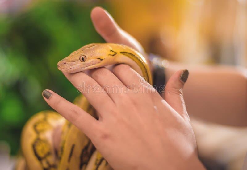 Handen av en kvinna som rymmer en gul boa, är ett älskvärt husdjur royaltyfri fotografi