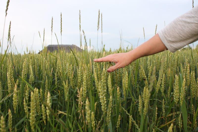 Handen av ett rörande mognande vete för bonde gå i ax i försommar vete för bondefälthand arkivbilder