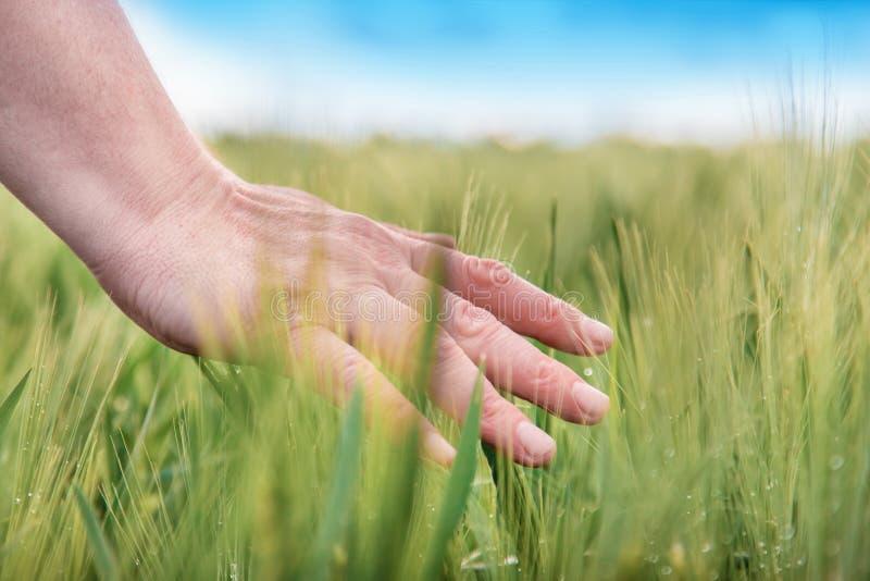 Handen av ett r?rande mognande vete f?r bonde g? i ax i f?rsommar vete f?r bondef?lthand Jordbruks- kultiverat vetef?lt royaltyfri bild