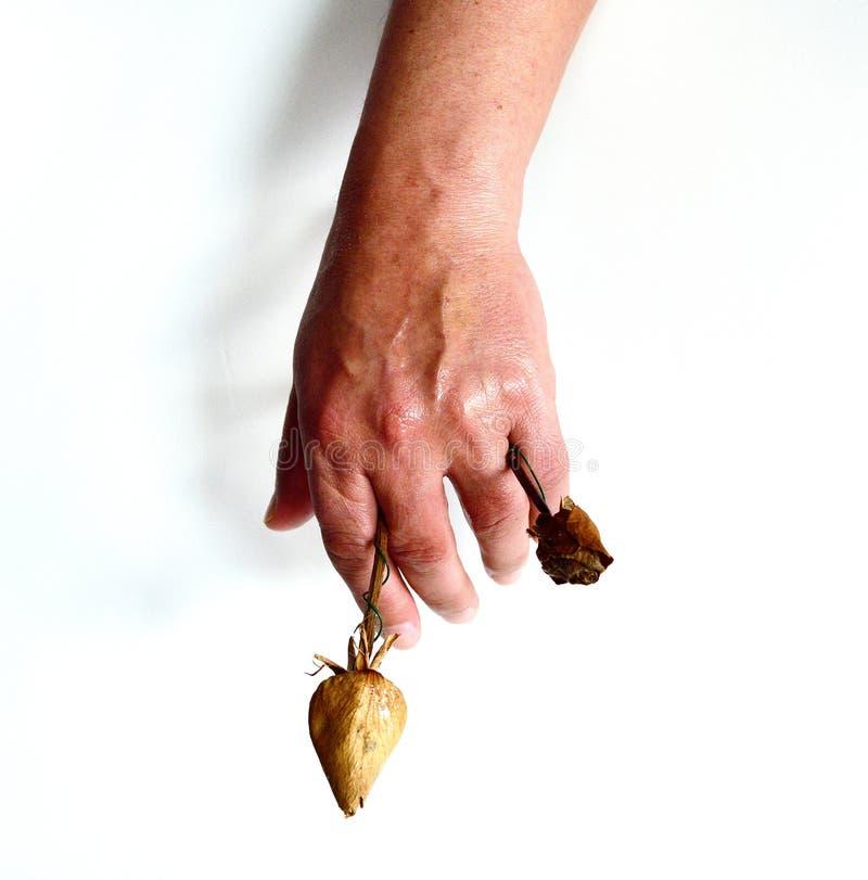 Handen av mans Hand som ner når med vissna rosor royaltyfri bild