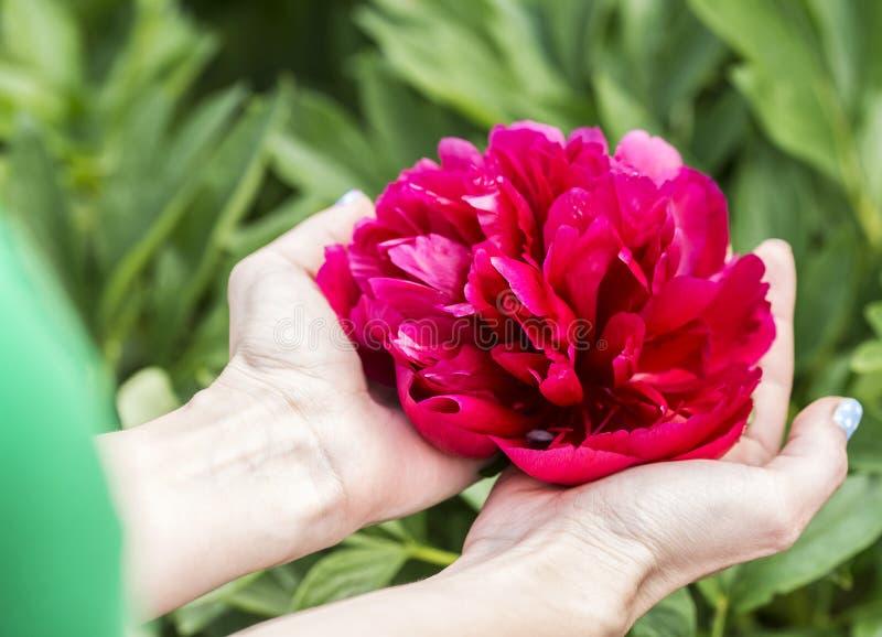 Handen die een grote rode bloem houden stock foto's