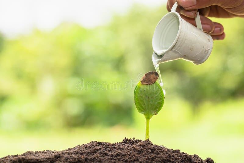 Handen die een kleine emmer vasthouden om de planten te water te krijgen die jonge, groene bomen besproeien Het planten van zaail stock fotografie