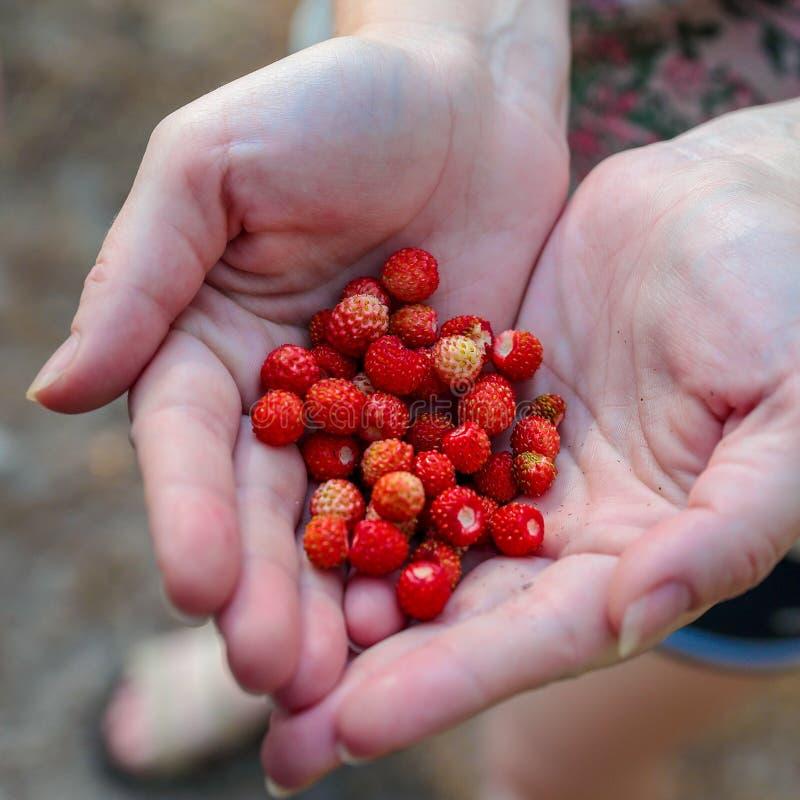 Handen die een stapel van rode wilde bosaardbeien houden stock foto's