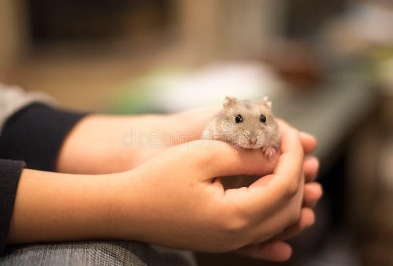 Handen die met tederheid een leuke kleine grijze hamster houden royalty-vrije stock foto's