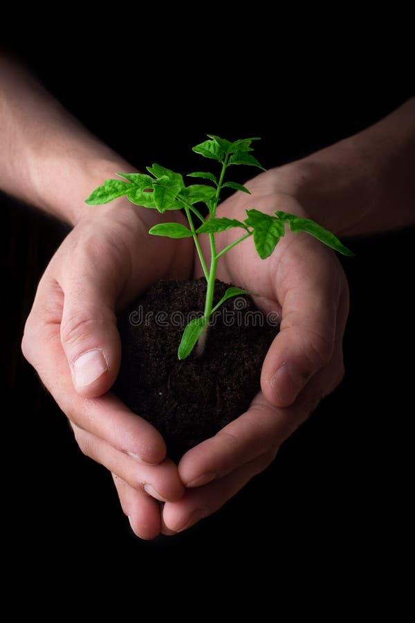 Handen die tomatenzaailing houden Het tuinieren en milieubescherming concept stock foto