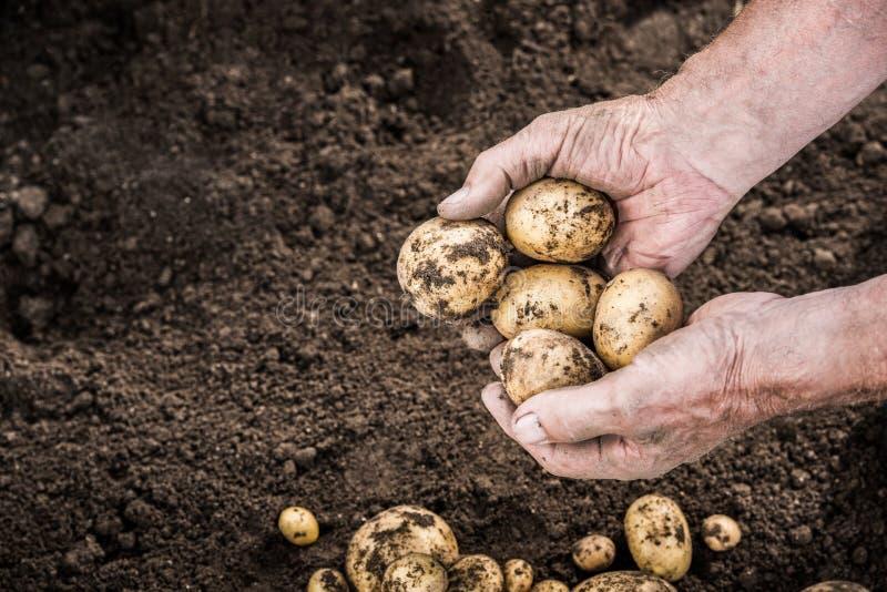 Handen die verse aardappels van tuin oogsten royalty-vrije stock fotografie