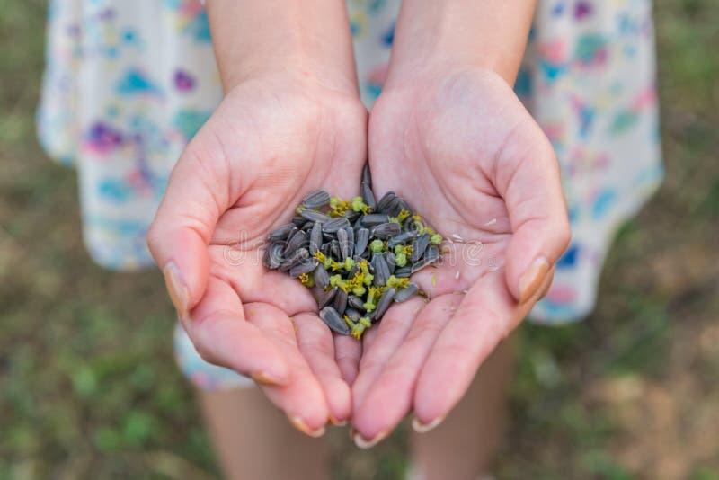 Handen die zonnebloemzaden op gebied houden royalty-vrije stock fotografie