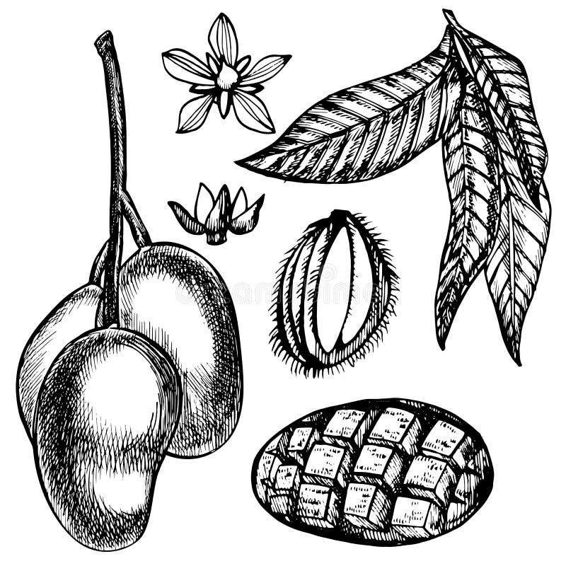 Handen drog mangofrukter st?ller in med blad, och mango skivar och kuber Skissa stilfruktillustrationen som isoleras p royaltyfri illustrationer