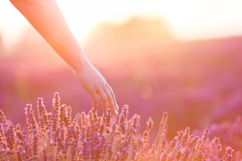 Handen för kvinna` som s trycker på slappt lavendel, blommar på solnedgången arkivbilder