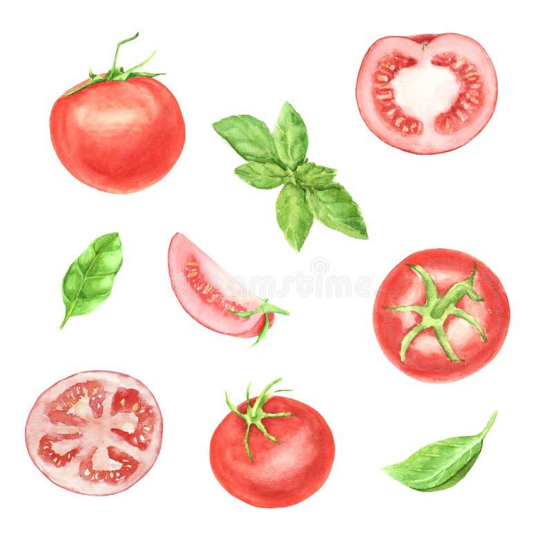 Handen målade vattenfärgen ställde in av tomatgrönsaken och det gröna nya basilikabladet som isolerades på vit bakgrund vektor illustrationer