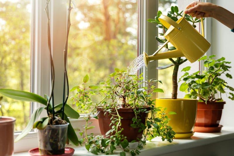 Handen med vatten kan bevattna inomhus v?xter p? f?nsterbr?da royaltyfri foto