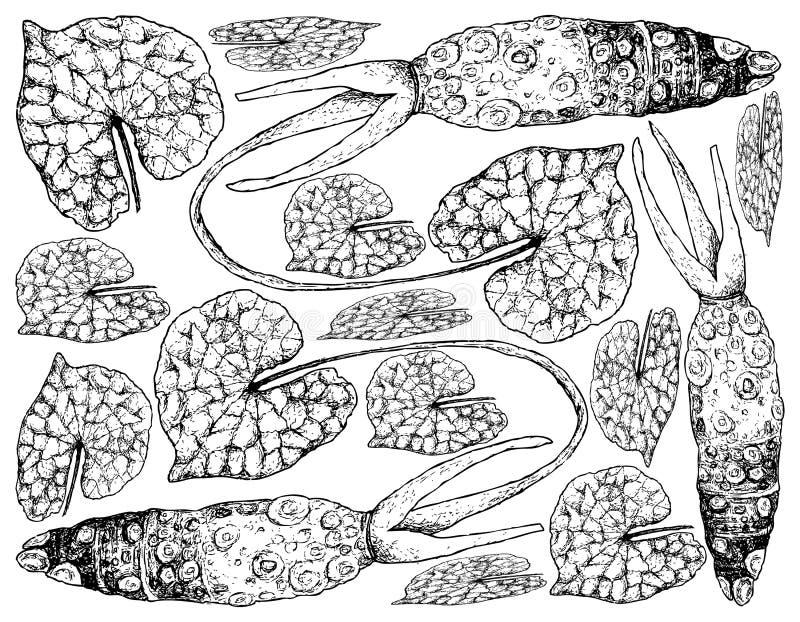 Handen som dras av Wasabi, rotar, också bekant som japansk pepparrot royaltyfri illustrationer